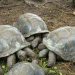 Riesenschildkröten auf La Digue