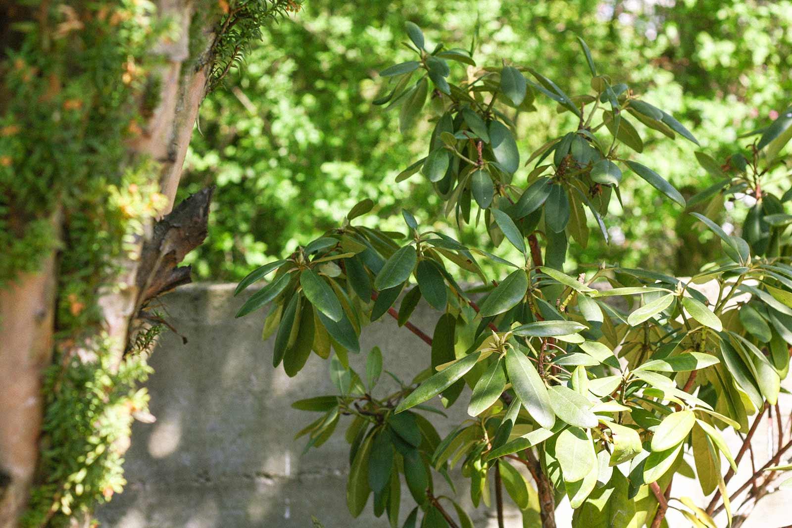 Der Garten im Mai - Rodhodendron