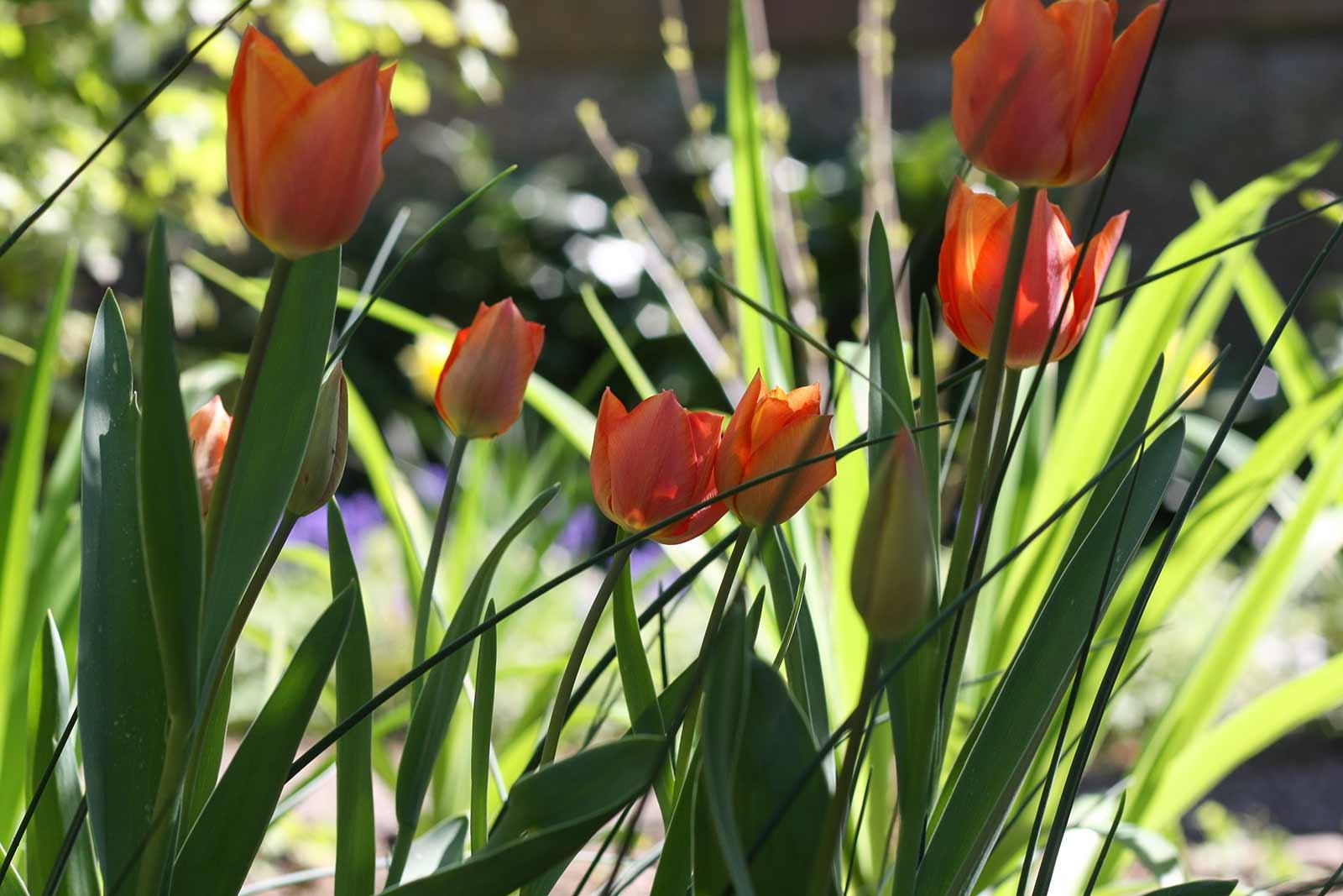 Der Garten im Mai - Tulpen