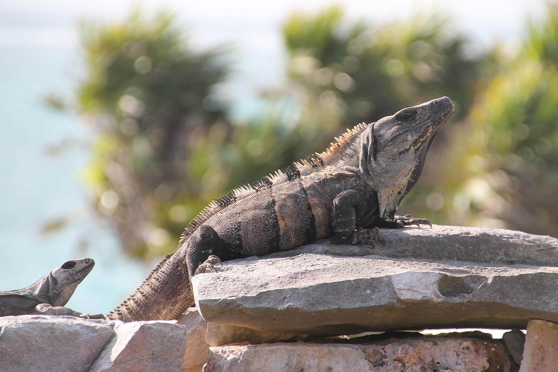 Reisebericht_mexiko_tulum_Leguan