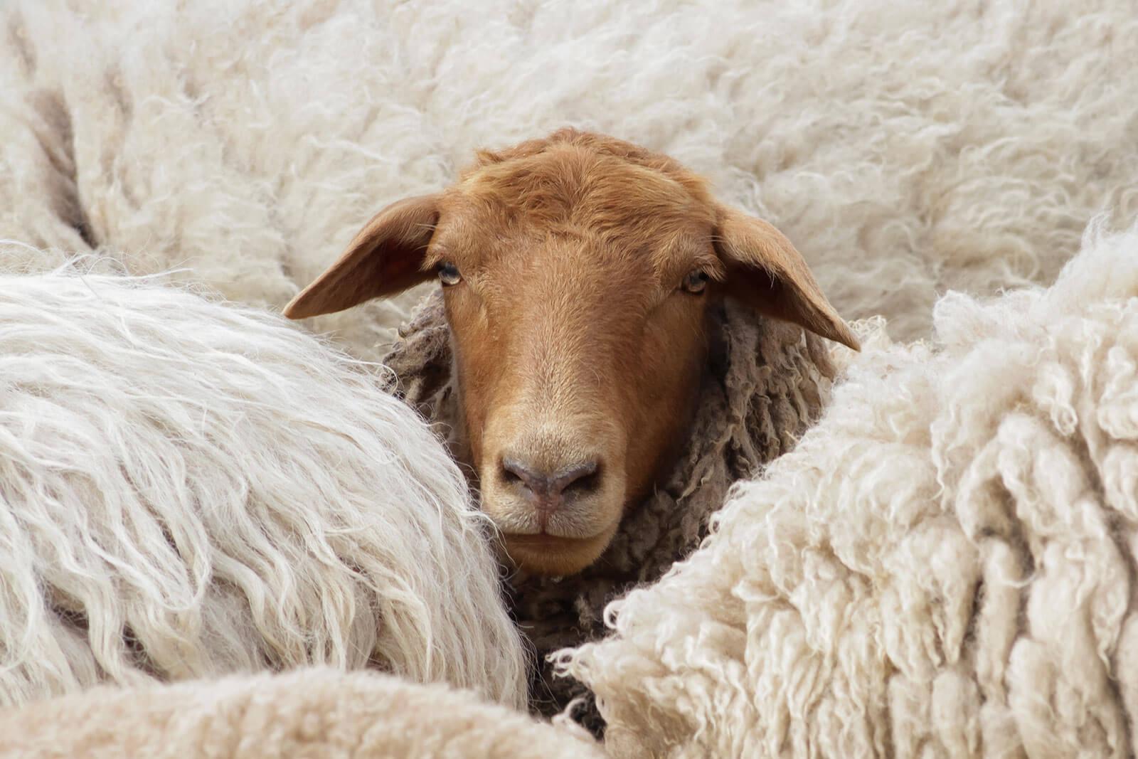 Schafwolle - Pflege